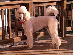 Harley Our AKC Standard Poodle