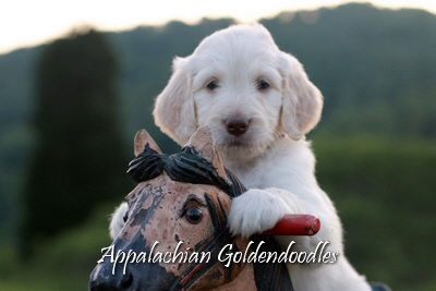 Upcoming Goldendoodle puppies