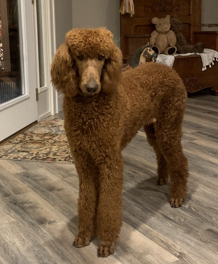 Romeo Our AKC Standard Poodle